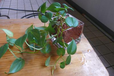 オキシカルジウム セラミス 挿し芽