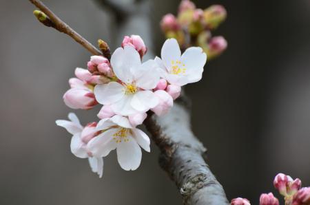 桜 枝 D5100