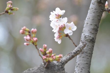 桜 花 つぼみ D5100