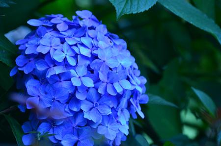 あじさい 紫陽花 hydrangea