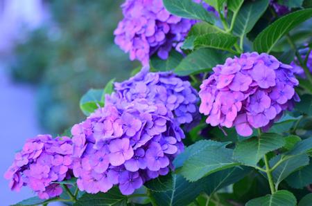 あじさい 紫陽花 かたまり