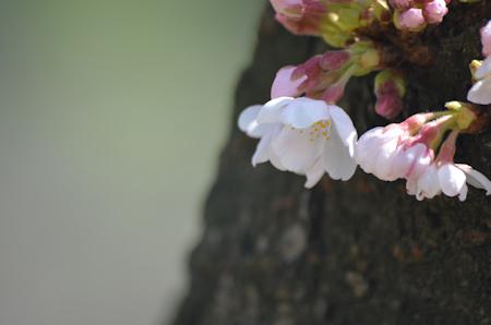 桜  D1500