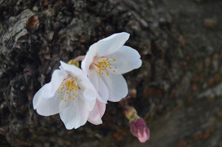桜 枝 D1500